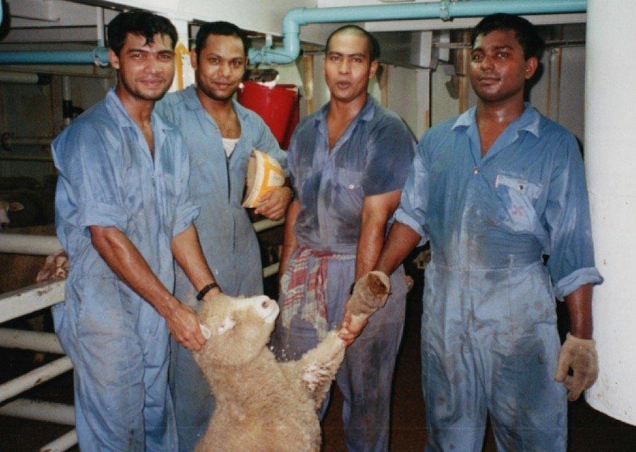 Live Animal Export Sheep