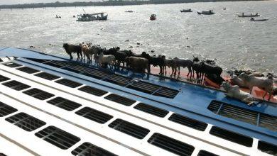 Photo of Livestock carrier capsizes leaving cattle stranded