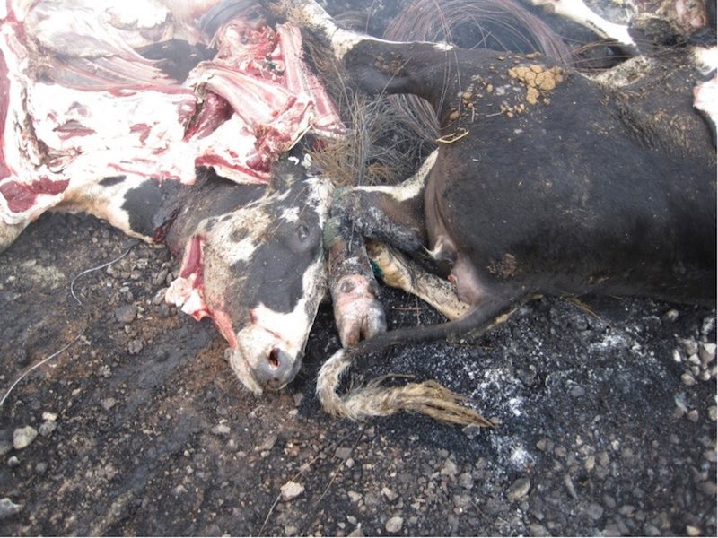 live-animal-export-burning-tyres