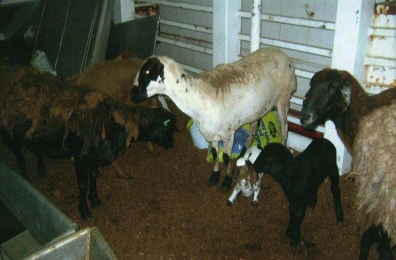 live-animal-export-lamb