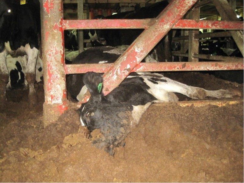 live-animal-export-stuck-dead
