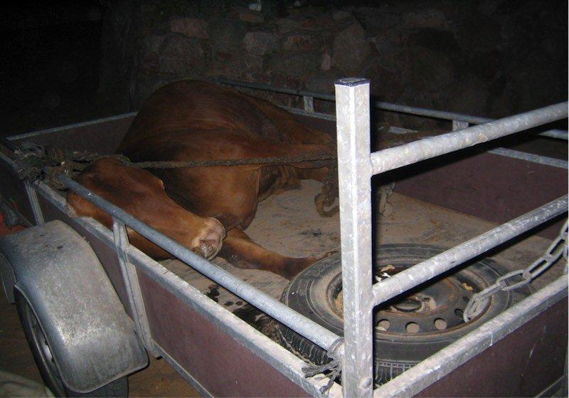 live-animal-export-escapee-4