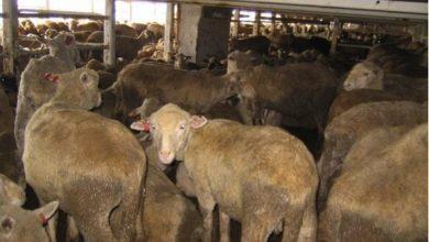Photo of Dublin bans Turkish livestock carrier pair