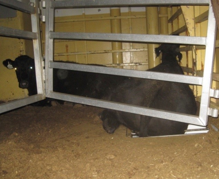 live-export-stuck-in-open-drainage-hole