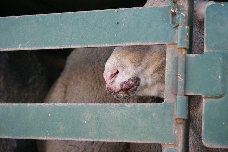 LAE Lamb lip