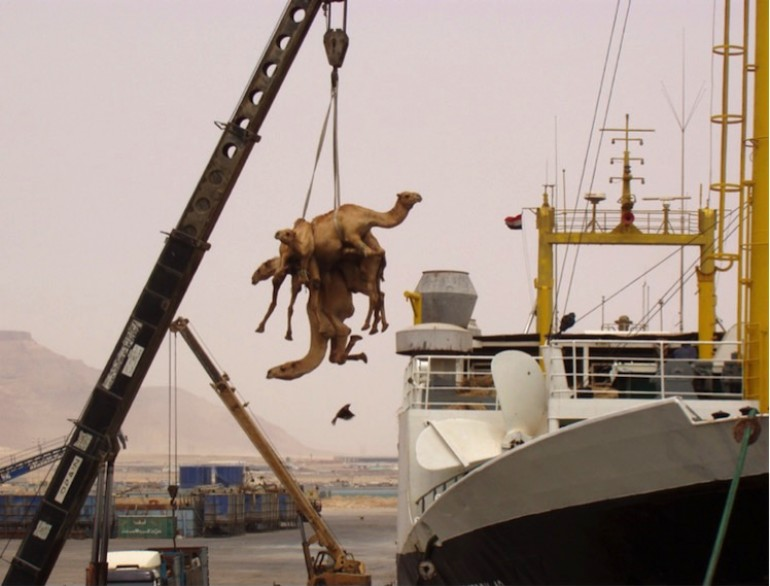 Live Animal Export: International regulations needed for crew, animal and consumer safety