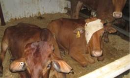 Live Animal Export: Animal hospitals at sea