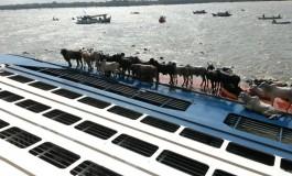 Livestock carrier capsizes leaving cattle stranded